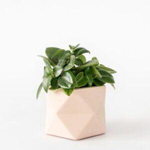 Palua Medium Millennial Piink Plant