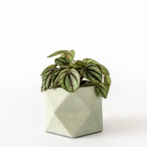 Palua Medium Olive Green Plant