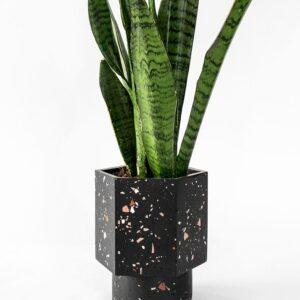 Houseraccoon Hapi Black Ruby Plant